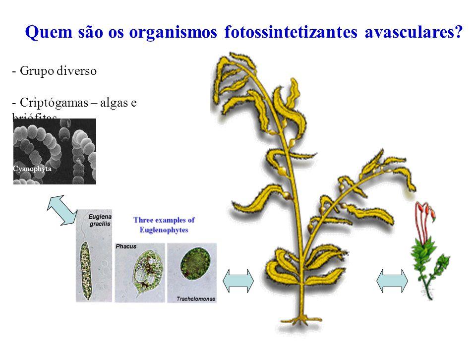 Quem são os organismos fotossintetizantes avasculares