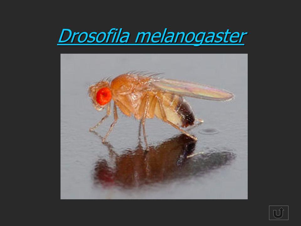 Drosofila melanogaster