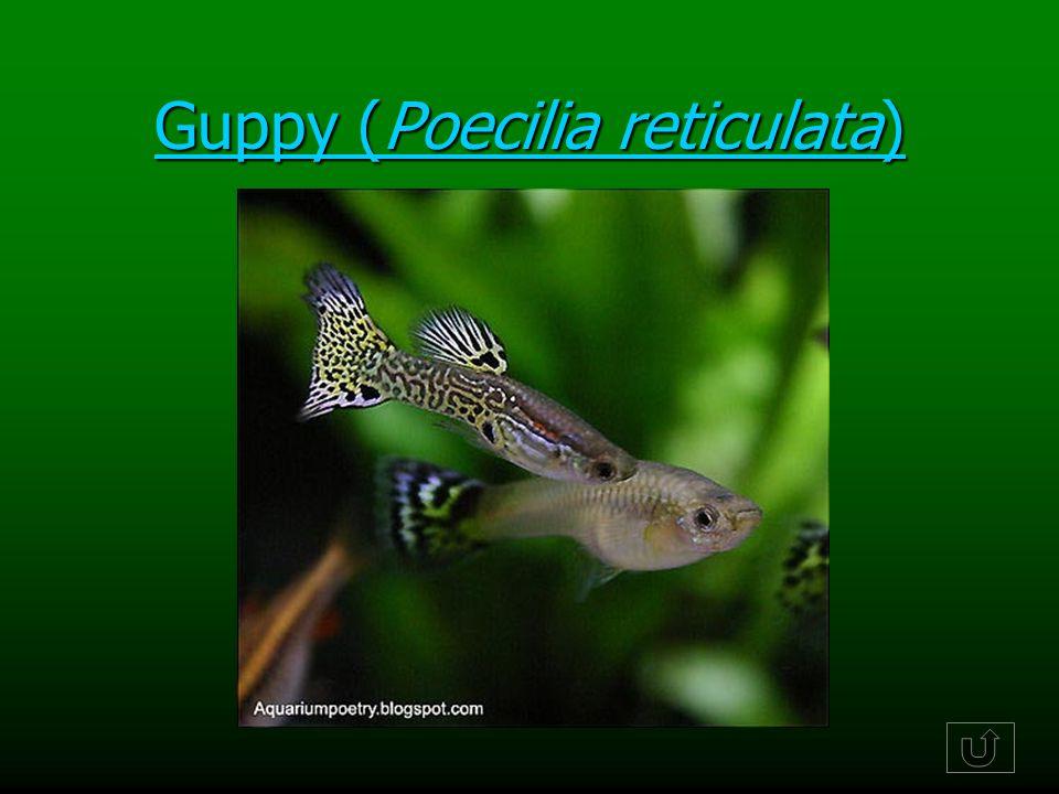 Guppy (Poecilia reticulata)