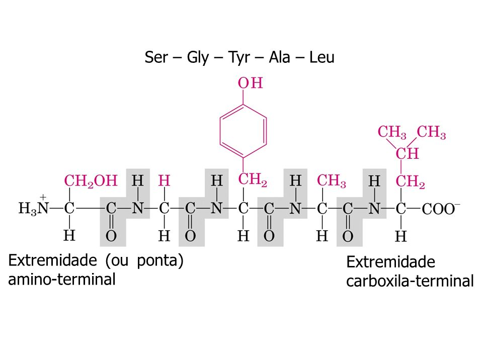 Ser – Gly – Tyr – Ala – Leu Extremidade (ou ponta) amino-terminal Extremidade carboxila-terminal