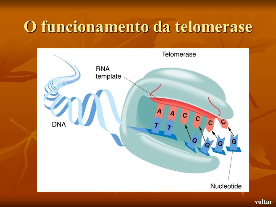 O funcionamento da telomerase