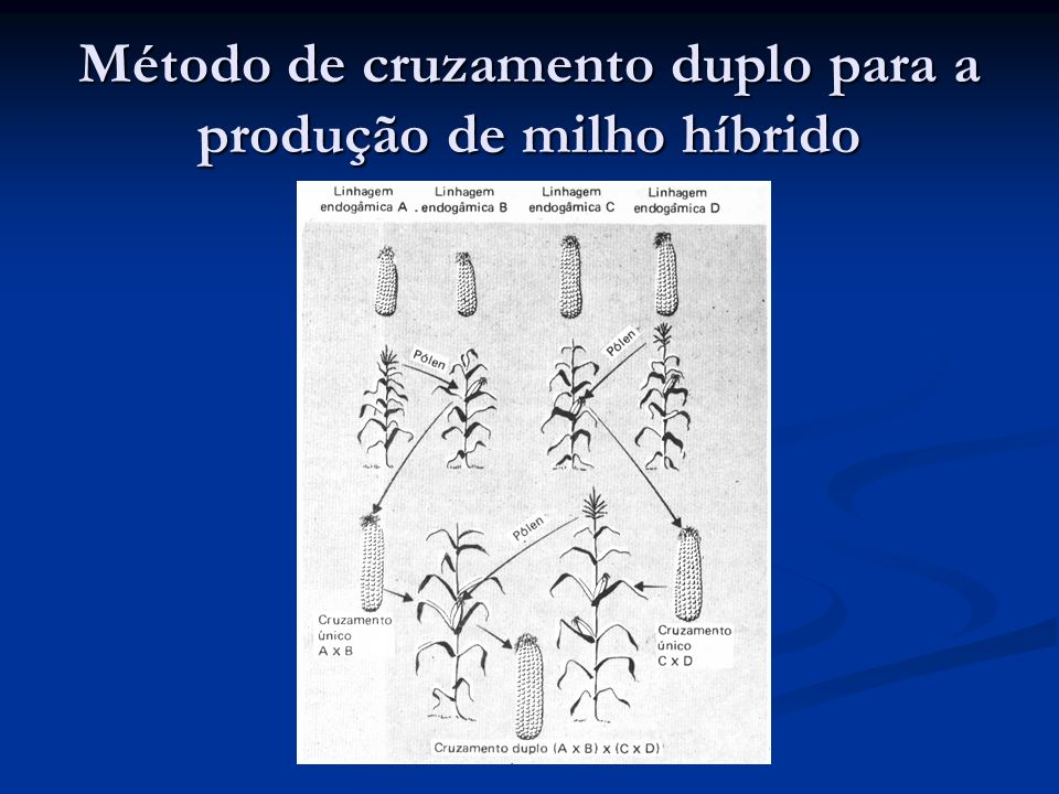 Método de cruzamento duplo para a produção de milho híbrido