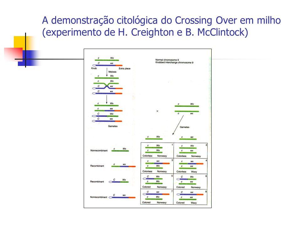 A demonstração citológica do Crossing Over em milho (experimento de H