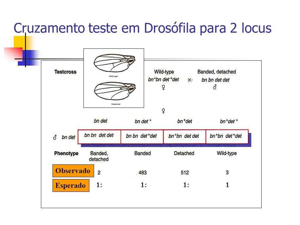 Cruzamento teste em Drosófila para 2 locus
