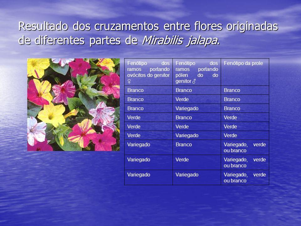 Resultado dos cruzamentos entre flores originadas de diferentes partes de Mirabilis jalapa.