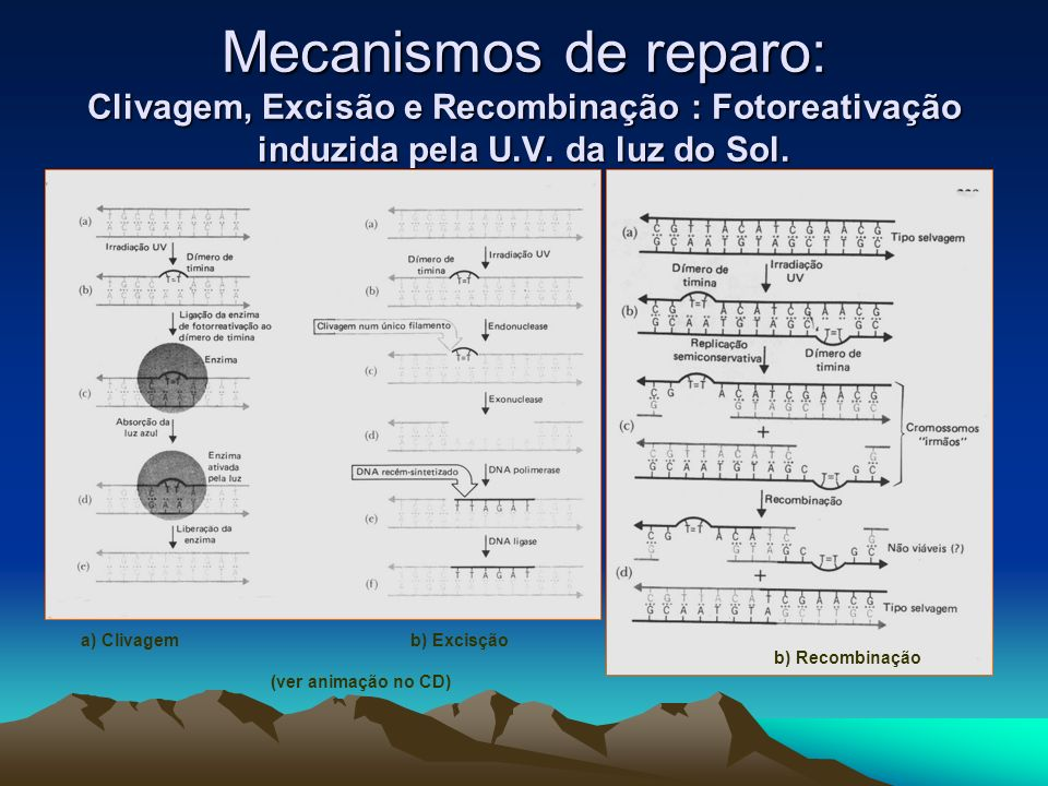 Mecanismos de reparo: Clivagem, Excisão e Recombinação : Fotoreativação induzida pela U.V. da luz do Sol.