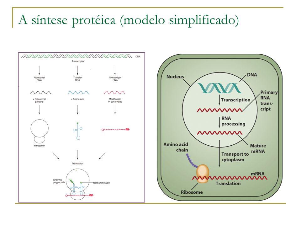 A síntese protéica (modelo simplificado)