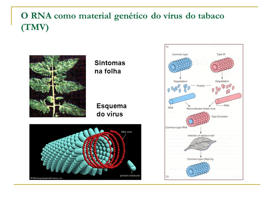 O RNA como material genético do vírus do tabaco (TMV)
