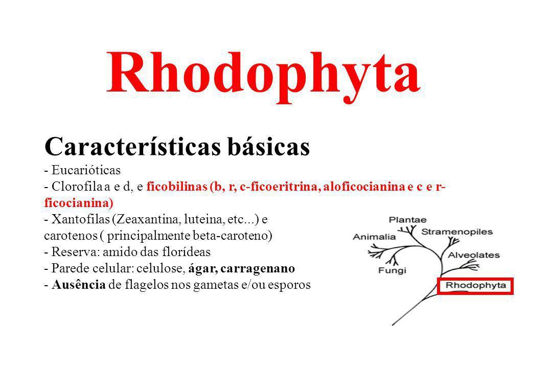 Rhodophyta Características básicas - Eucarióticas