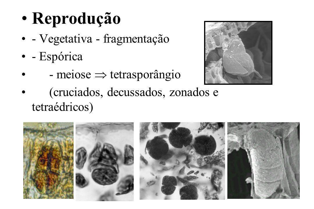 Reprodução - Vegetativa - fragmentação - Espórica