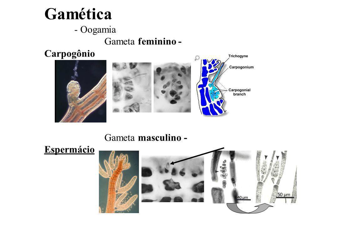 Gamética - Oogamia Gameta feminino - Carpogônio