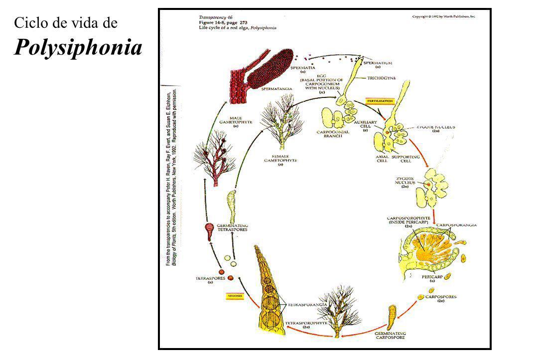 Ciclo de vida de Polysiphonia