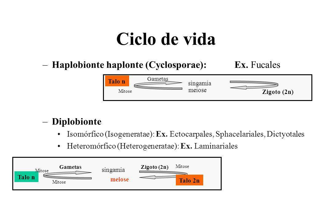 Ciclo de vida Haplobionte haplonte (Cyclosporae): Ex. Fucales