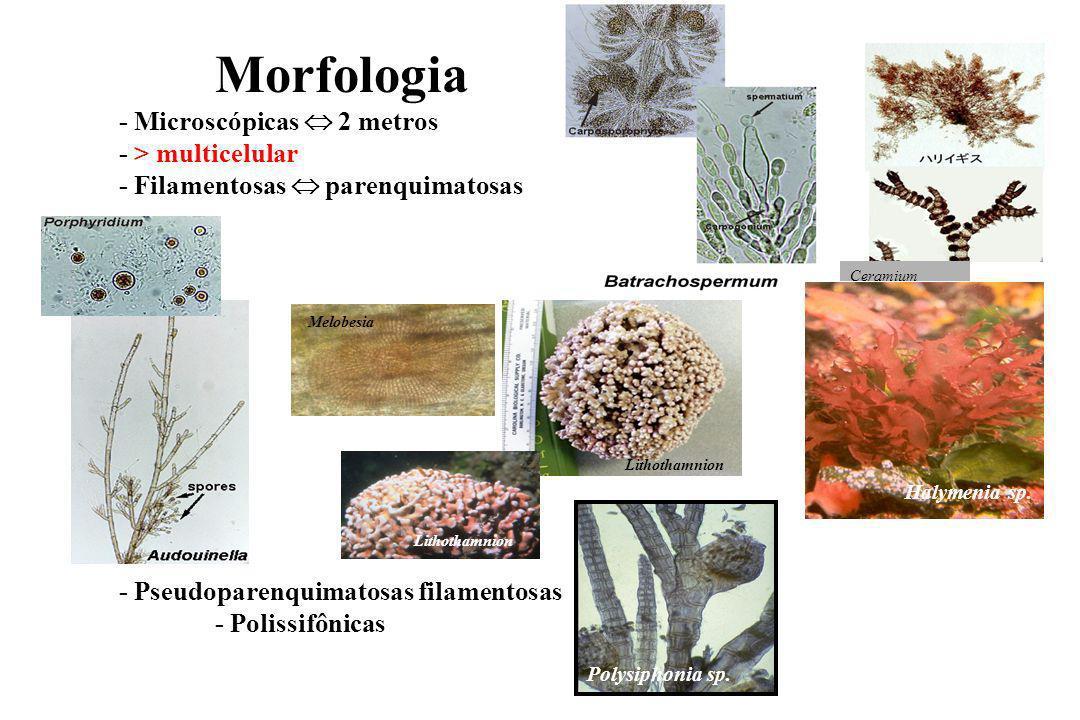 Morfologia - Microscópicas  2 metros - > multicelular