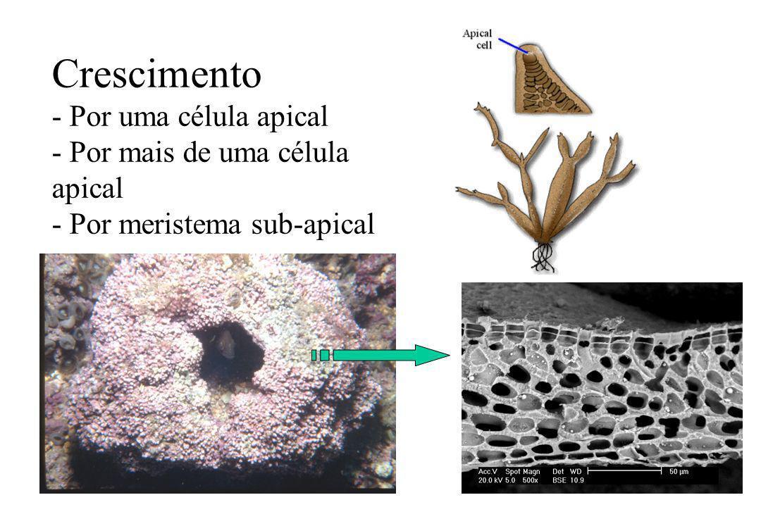 Crescimento - Por uma célula apical - Por mais de uma célula apical - Por meristema sub-apical