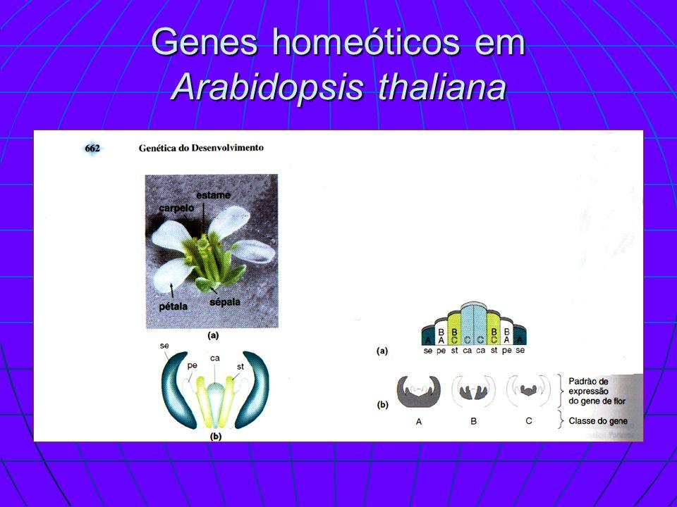 Genes homeóticos em Arabidopsis thaliana