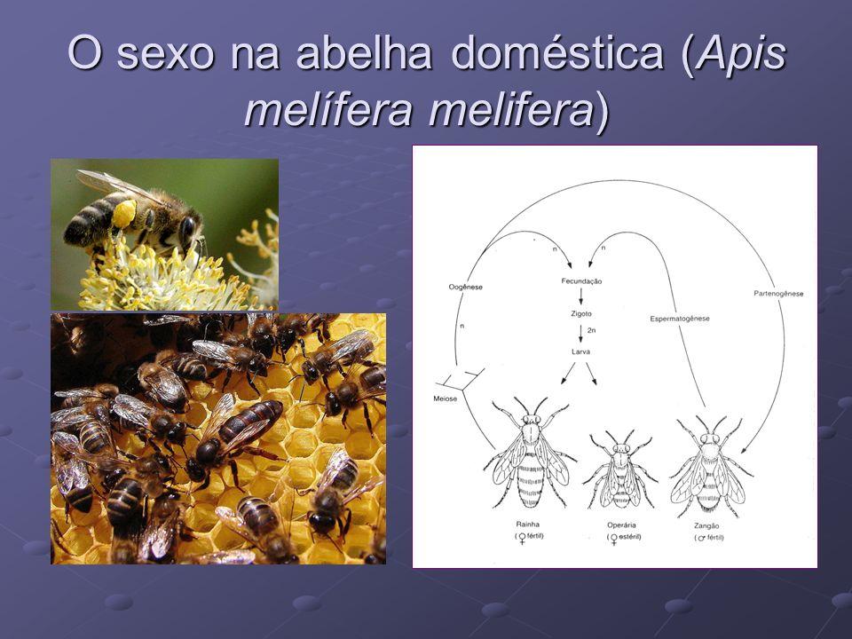 O sexo na abelha doméstica (Apis melífera melifera)