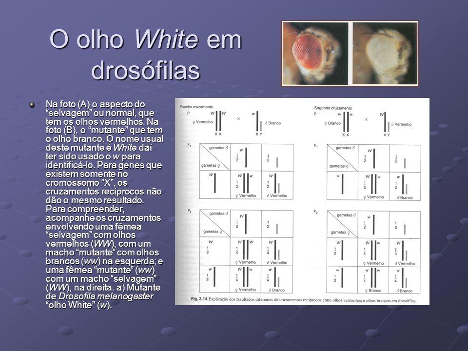 O olho White em drosófilas