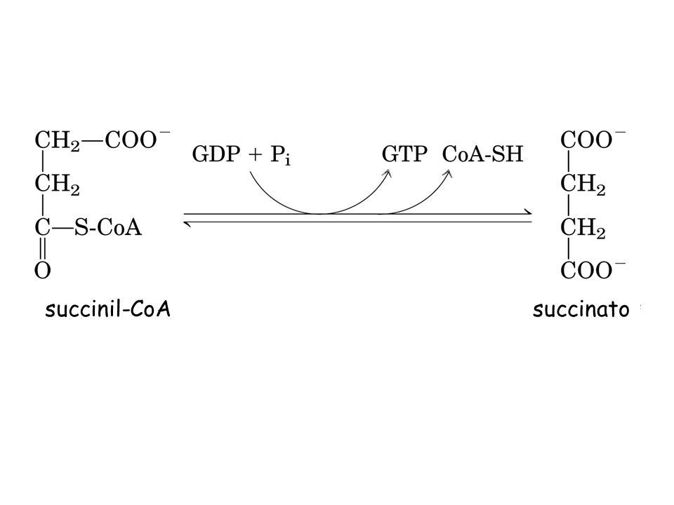 succinil-CoA succinato