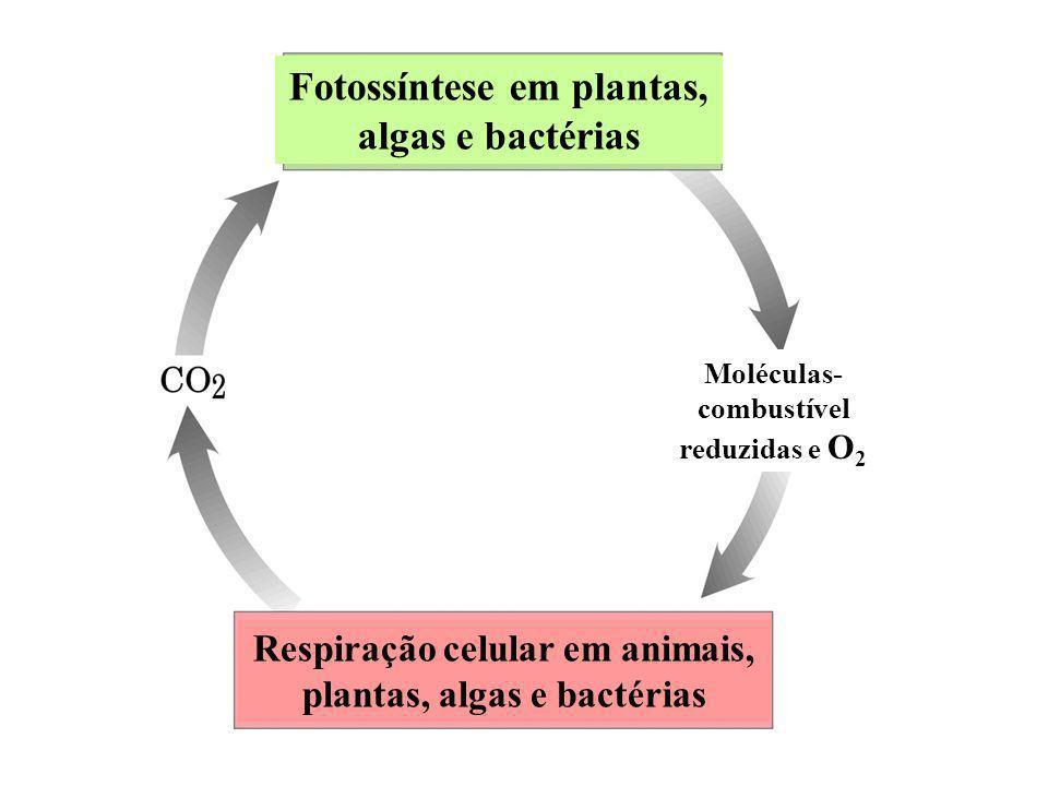 Fotossíntese em plantas, algas e bactérias