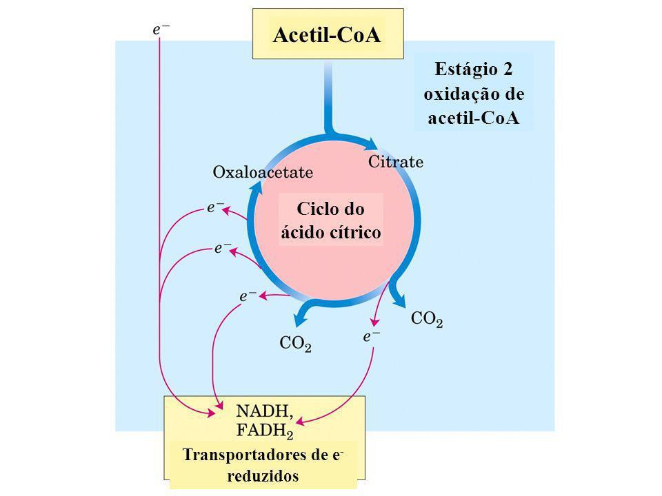 Estágio 2 oxidação de acetil-CoA Transportadores de e- reduzidos