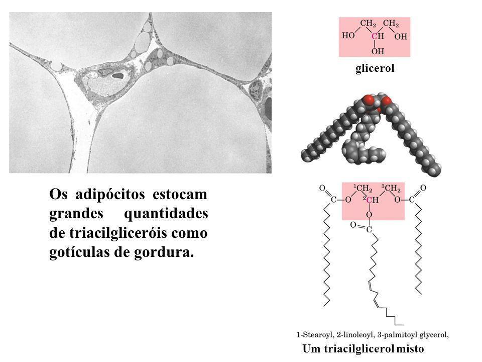 glicerol Os adipócitos estocam grandes quantidades de triacilgliceróis como gotículas de gordura.