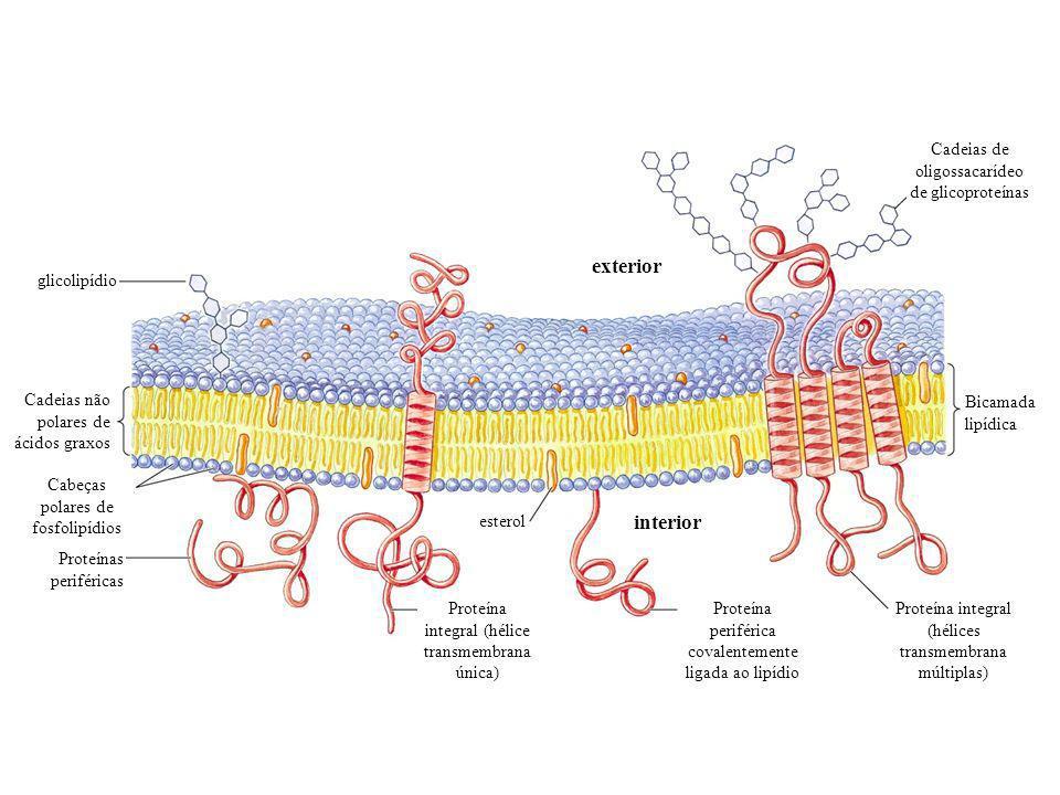 exterior interior Cadeias de oligossacarídeo de glicoproteínas