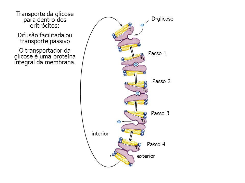 Transporte da glicose para dentro dos eritrócitos: