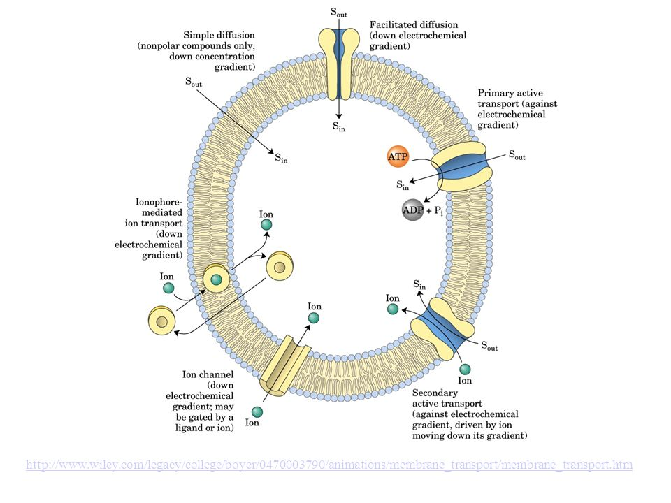 http://www.wiley.com/legacy/college/boyer/0470003790/animations/membrane_transport/membrane_transport.htm