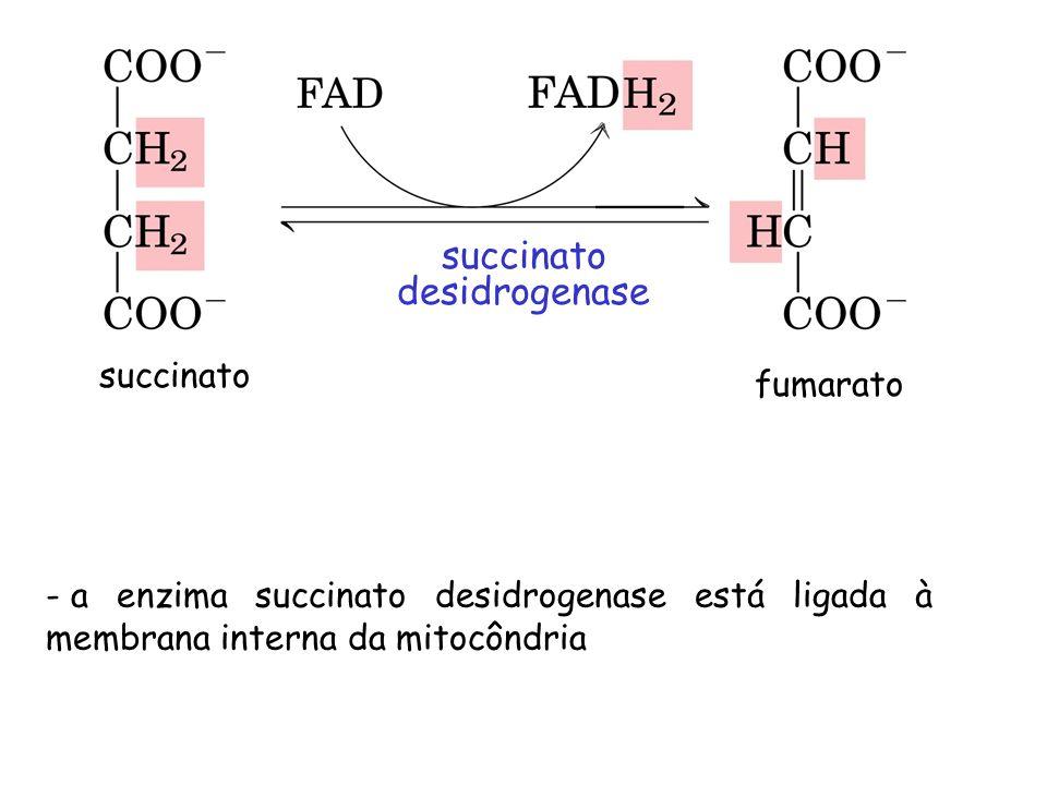 succinato desidrogenase