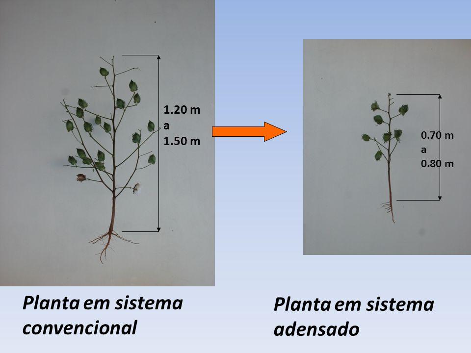 Planta em sistema convencional Planta em sistema adensado