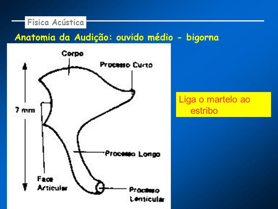Anatomia da Audição: ouvido médio - bigorna