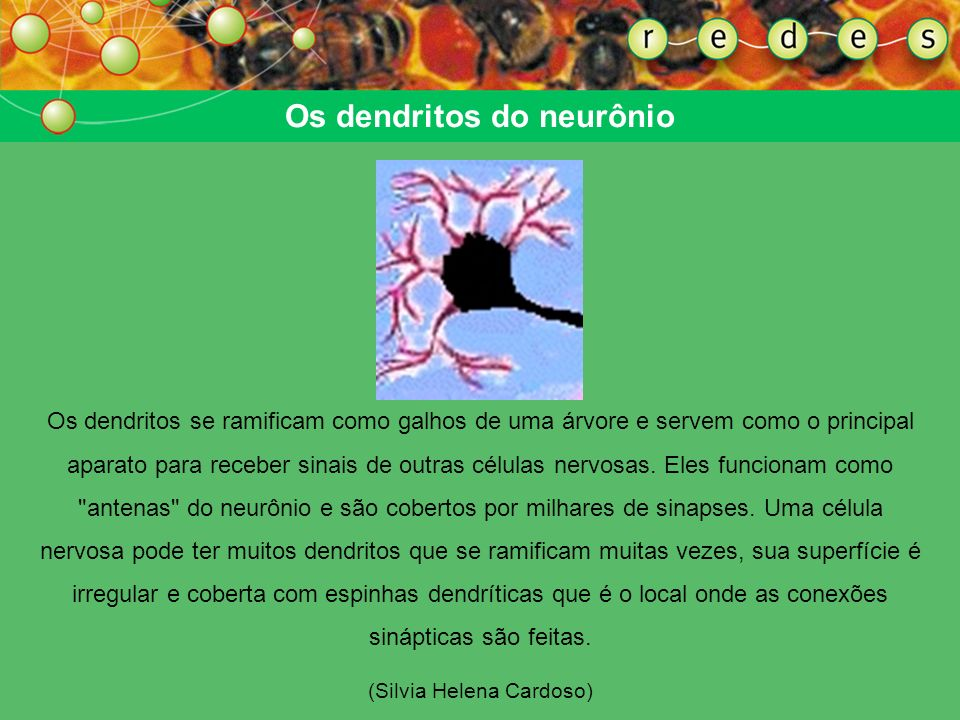Os dendritos do neurônio
