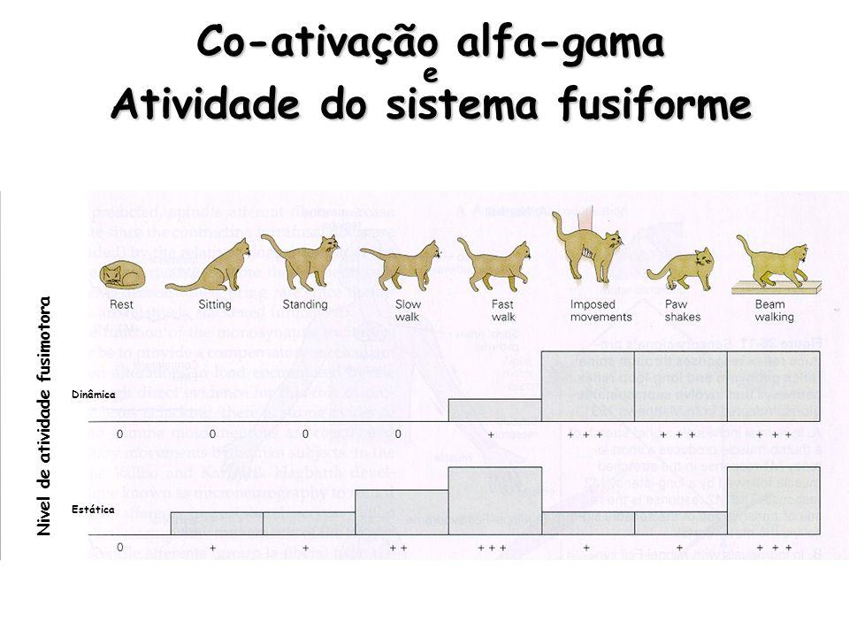 Co-ativação alfa-gama e Atividade do sistema fusiforme