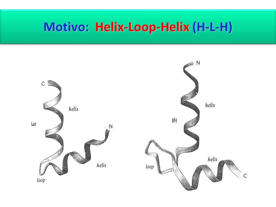 Motivo: Helix-Loop-Helix (H-L-H)