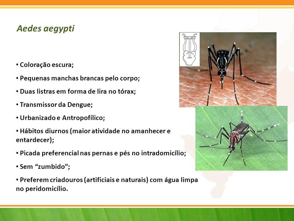 Aedes aegypti Coloração escura; Pequenas manchas brancas pelo corpo;