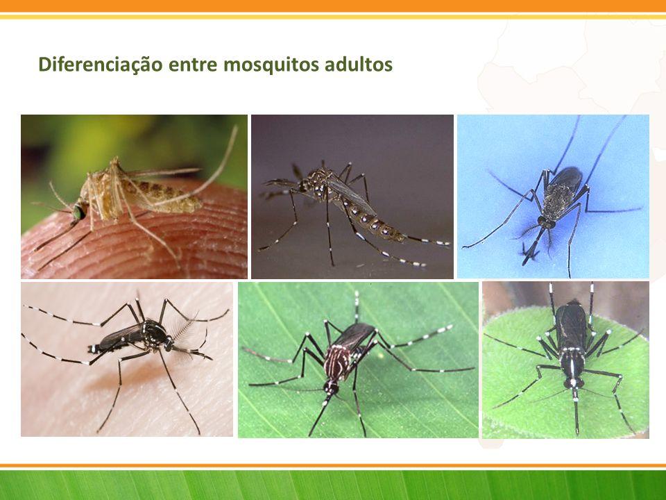 Diferenciação entre mosquitos adultos