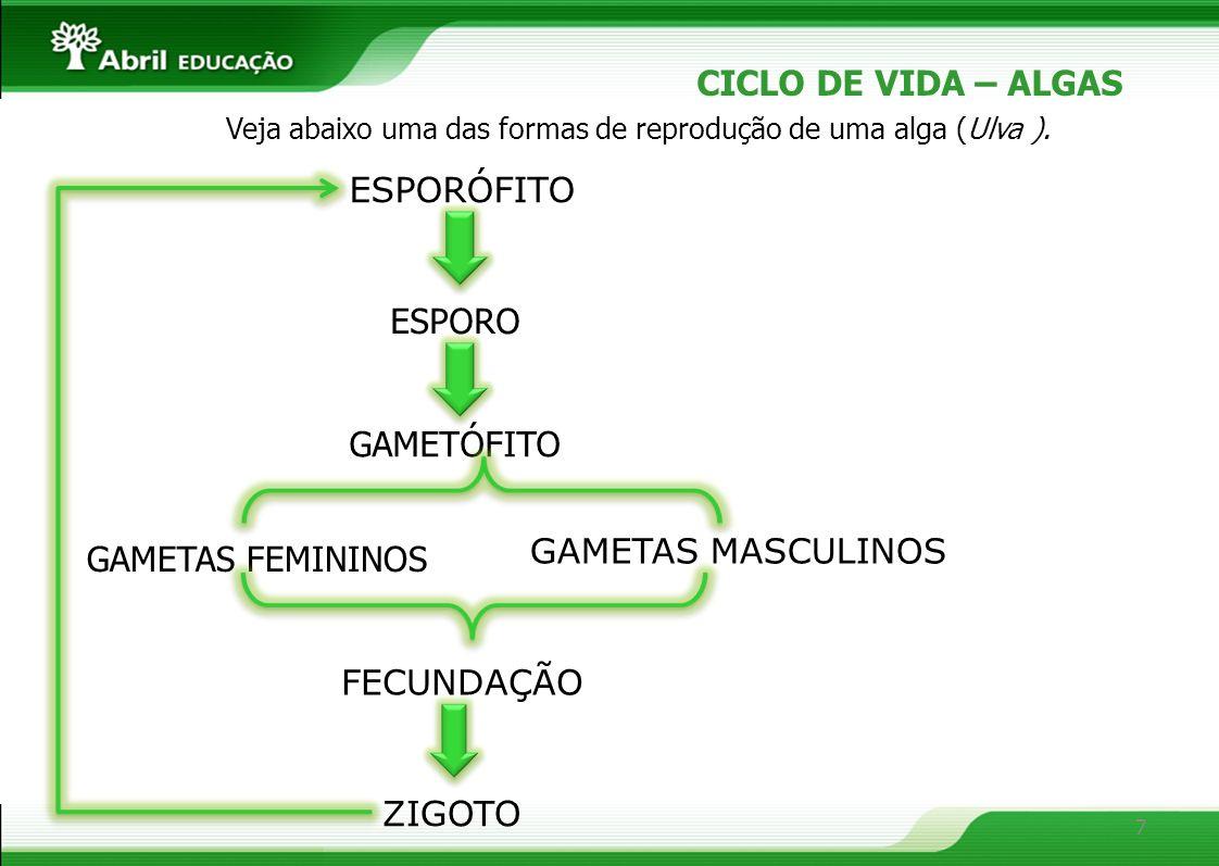 CICLO DE VIDA – ALGAS ESPORÓFITO ESPORO GAMETÓFITO GAMETAS MASCULINOS