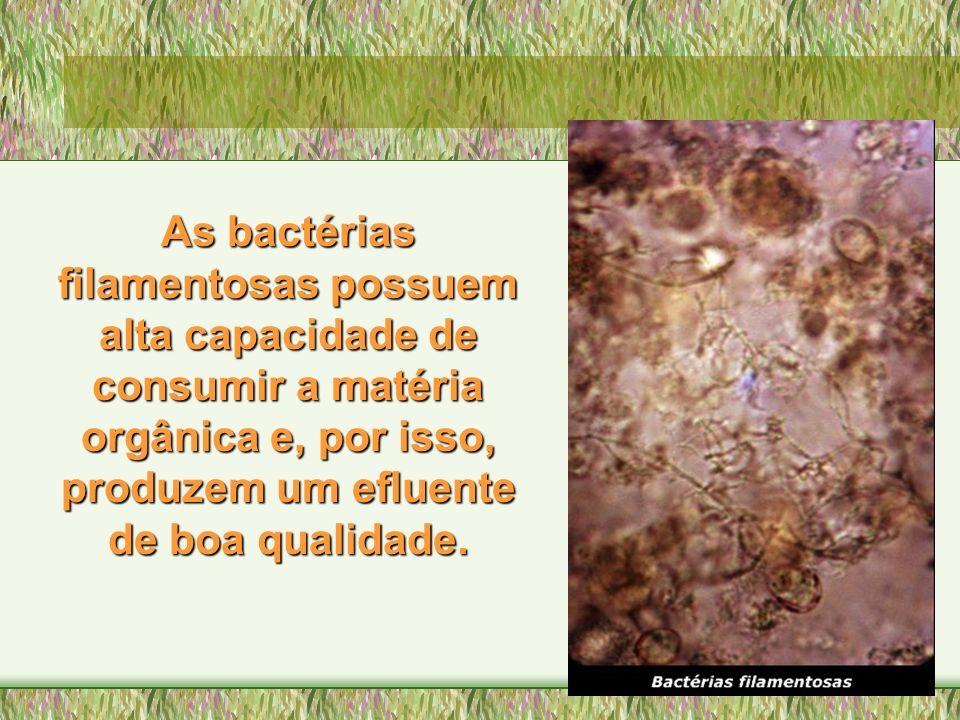 As bactérias filamentosas possuem alta capacidade de consumir a matéria orgânica e, por isso, produzem um efluente de boa qualidade.