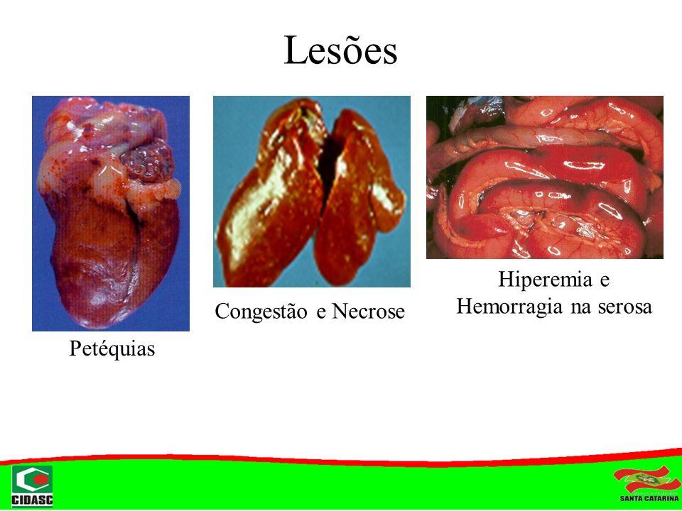 Hiperemia e Hemorragia na serosa