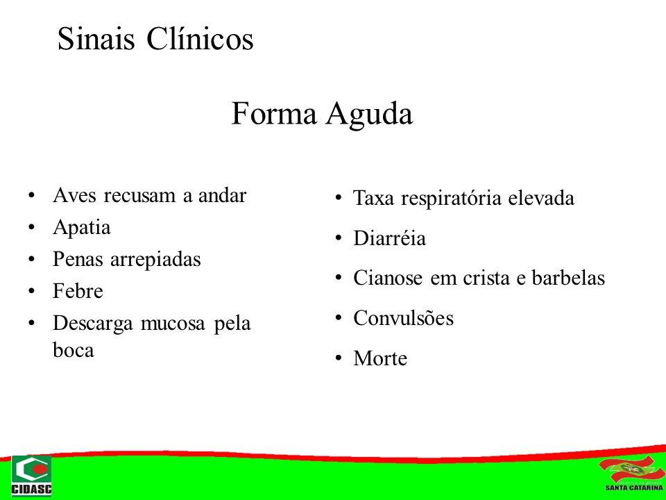 Sinais Clínicos Forma Aguda Taxa respiratória elevada