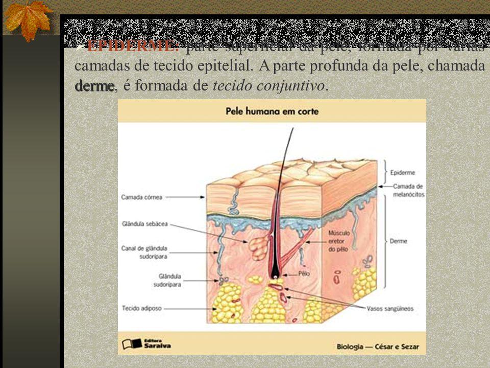 EPIDERME: parte superficial da pele, formada por várias camadas de tecido epitelial.