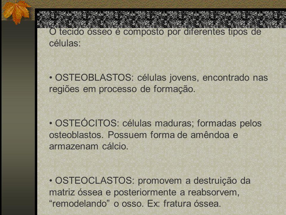 O tecido ósseo é composto por diferentes tipos de células: