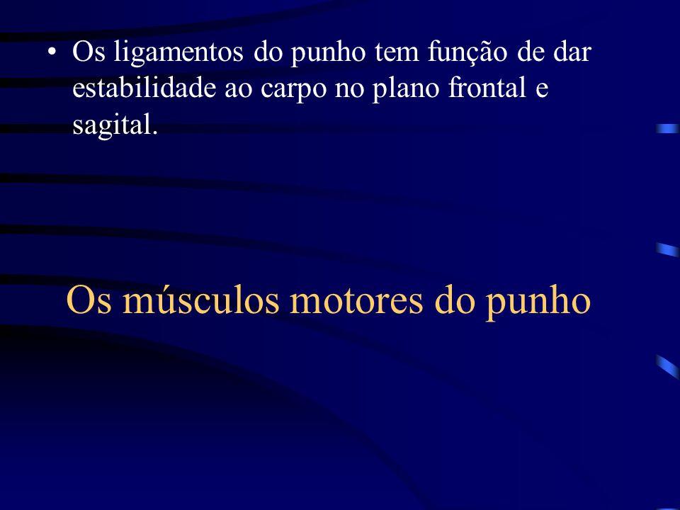 Os músculos motores do punho