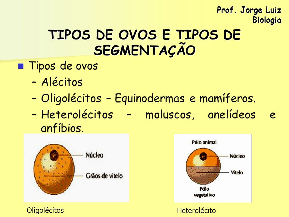 TIPOS DE OVOS E TIPOS DE SEGMENTAÇÃO