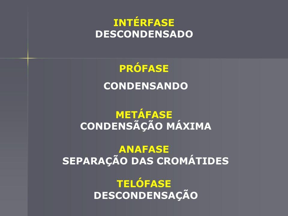 INTÉRFASE DESCONDENSADO SEPARAÇÃO DAS CROMÁTIDES