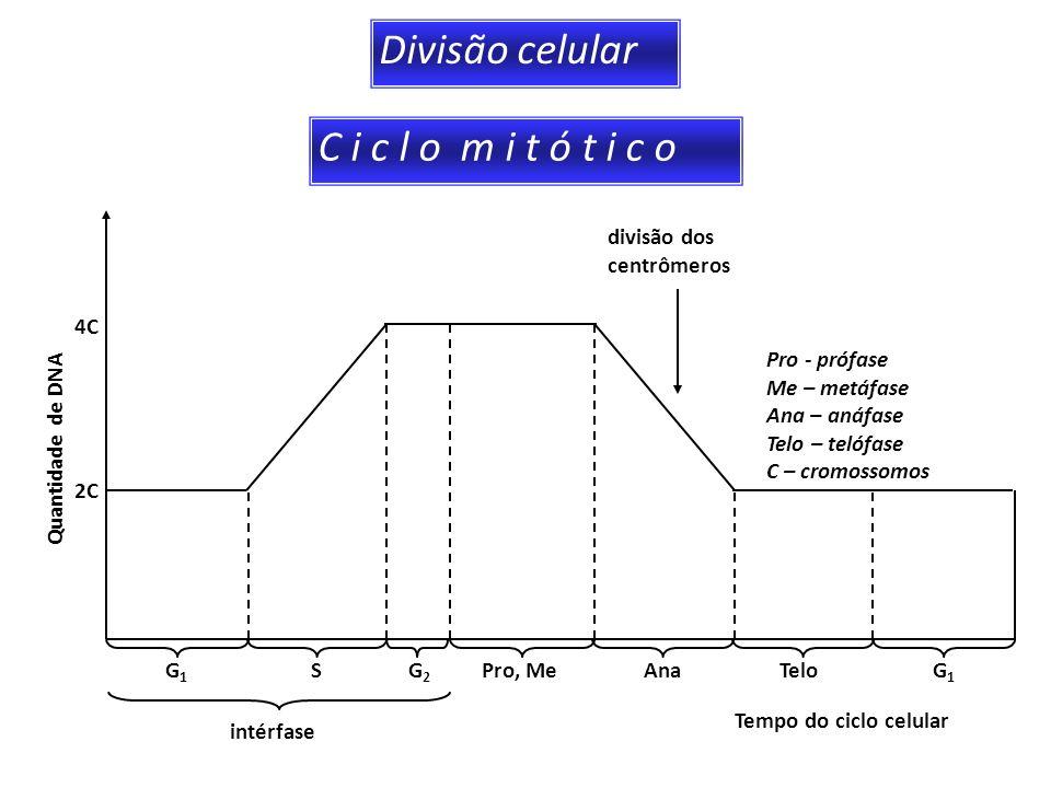 Divisão celular C i c l o m i t ó t i c o divisão dos centrômeros