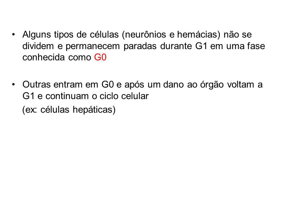 Alguns tipos de células (neurônios e hemácias) não se dividem e permanecem paradas durante G1 em uma fase conhecida como G0