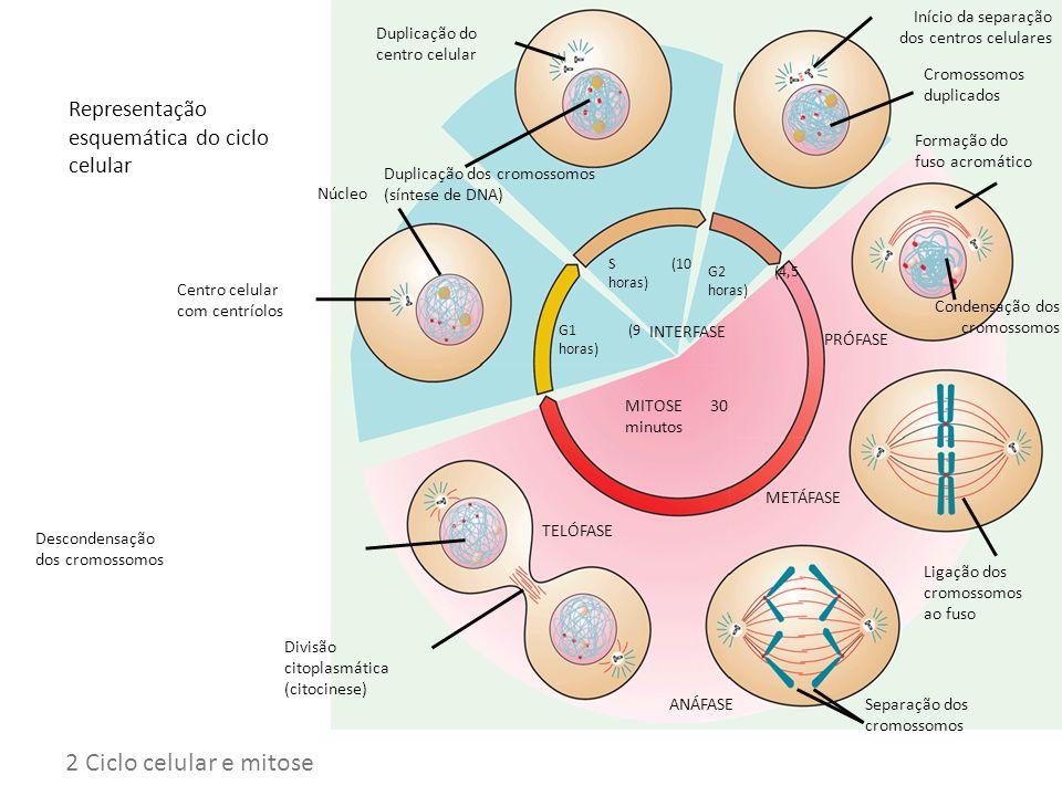 Ciclo celular 2 Ciclo celular e mitose
