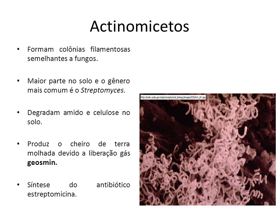 Actinomicetos Formam colônias filamentosas semelhantes a fungos.